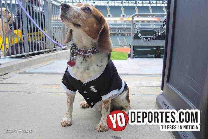 Medias Blancas buscan récord Guinness de perros en el estadio