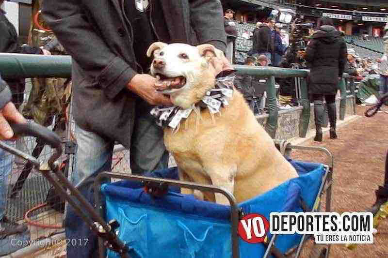 White Sox Dog Day-dia del perro-medias blancas